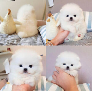 ❤Extremely rare! White teacup Pomeranian for sale!