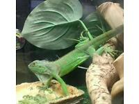 Green Iguana and set up