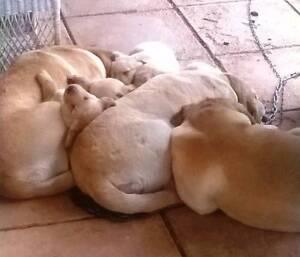 Labrador pup Albury Albury Area Preview