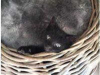 Black ghost tabby leopard male kitten ready today