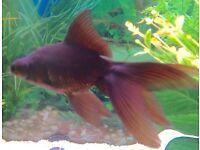 Free Oranda coldwater fish