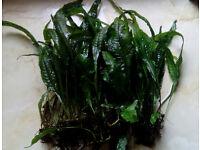 Java Fern (Microsorium Pteropus) Live plants