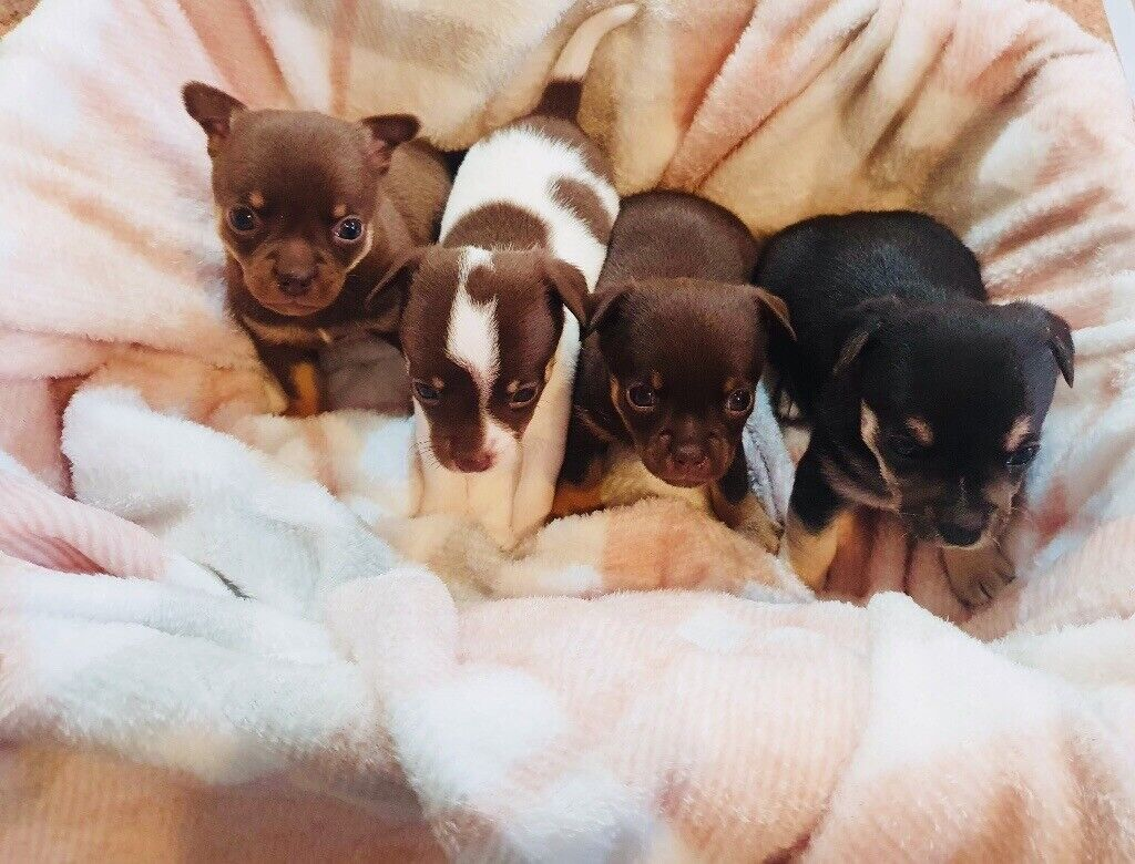 Very Rare Chocolate Tan Chihuahua Puppies In Ormesby North Yorkshire Gumtree