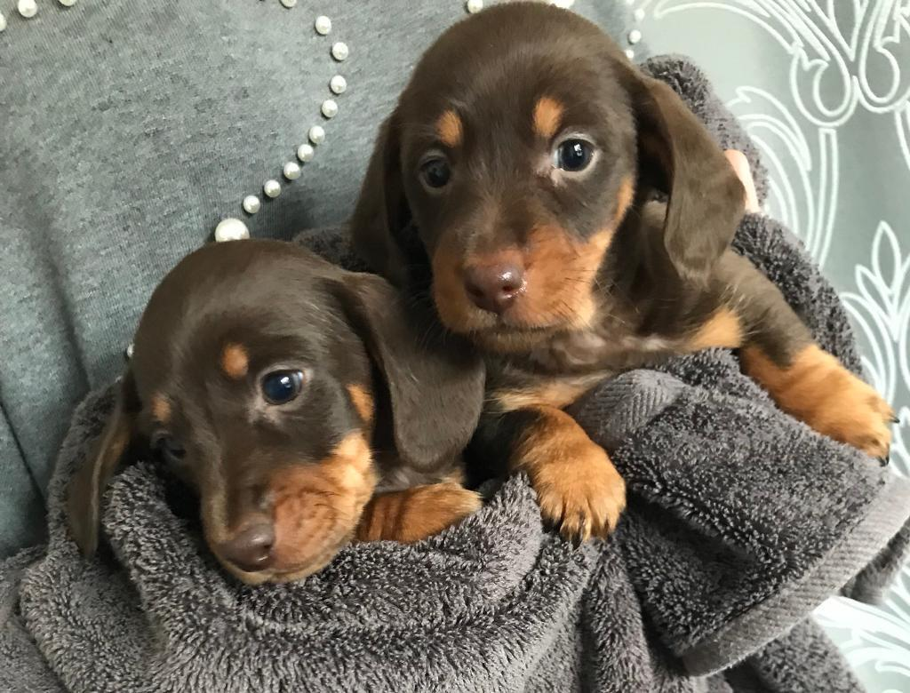 Gumtree Dogs For Sale Kent