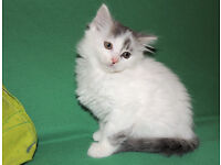 5 Beautiful Siberian X Kittens (delivery)