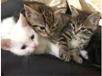 Bengal x Adorable kittens