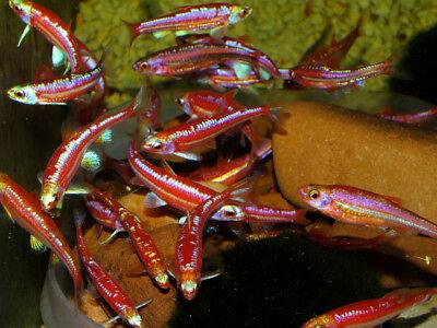 3 x Pairs of Cold Water Fish Species - Oryzias, Tanichthys, Gasterosteus etc.