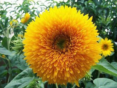 "Dwarf Sungold Teddy Bear Sunflower ""Helianthus Annuus"" 50 Seeds"