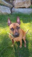 "Adult Female Dog - Staffordshire Bull Terrier: ""Gracie"""