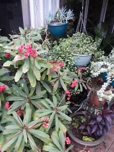 Cheap variety of Plants for sale Dianella Stirling Area Preview