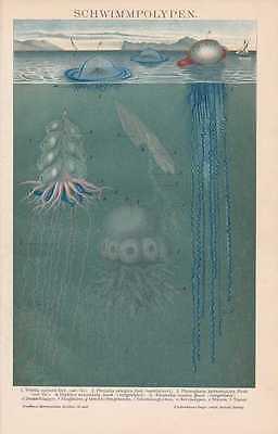 Polypen Quallen Nesseltiere Medusen LITHOGRAFIE von 1898 jellyfish  jellies