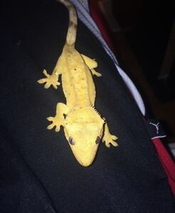 Orange male crested gecko + everything you need