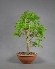 Large Quercus Robur English Oak Prebonsai