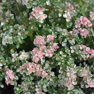 Miniature Fairy Garden Pilea microphylla variegata, Tricolor, Artillery Fern