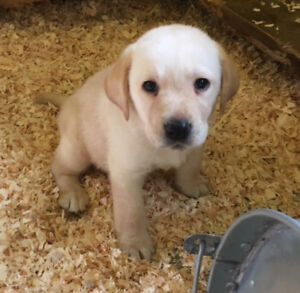 Registered Yellow Lab Puppies