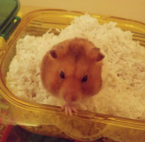 CUTE HAMSTER FOR REHOMING