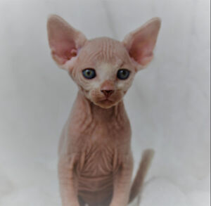 Purebred Registered Sphynx kittens!