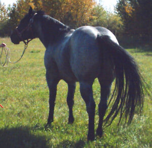 ROAN QUARTER HORSES FOR SALE: STUDS, FILLIES, MARES. GELDING