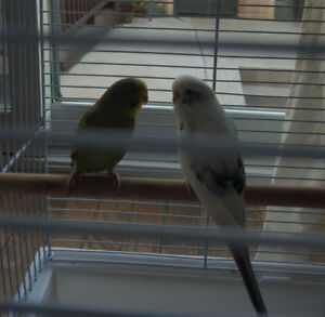 Male Budgies for sale