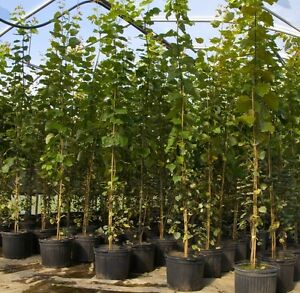 QUALITY HARDY TREES AT WHOLESALE PRICES