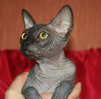 chatte sphynx noire