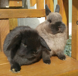 Bonded baby bunnies, puredred Holland lop and Netherland Dwarf
