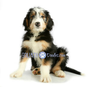 Goliath- Doodle -Bernese Mountain-Poodle -Saint Bernard-Golden