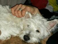 Looking for lost West Highland White Terrier
