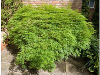 Stunning Acer Dissectum (Japanese Maple) Shrub In Pot For Sale