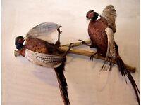 Taxidermy - Pheasants
