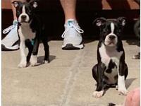 Last two Boston terrier puppys