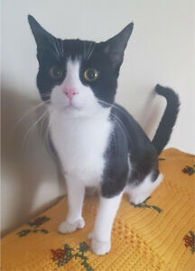 MISSING BLACK AND WHITE CAT IN BEDFORD: *500 REWARD