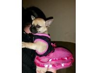 Kc reg chocolate and tan chihuahua puppy female