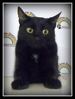 """"""":FAYE""""  -- 10 month old FIXED KITTEN  -- @ Small Things"""