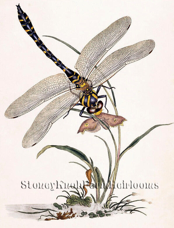Dragonfly ~ Insects, Natural History ~ DIY Counted Cross Sti