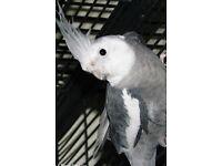 Beautiful colour Cockatiels parrot * £60 each *