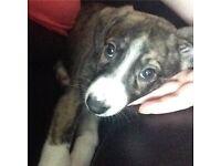 Lurcher puppy for sale