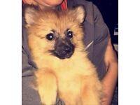 6 month Full breed male pomeranian pup
