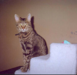 LOST CAT: BROWN/BLACK TABBY