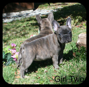 French Bulldog French Bulldog | Adopt or Rehome Pets in British