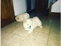 2 Chow Chow Pups, 1 Boy, 1 Girl