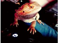 10 month old male bearded dragon