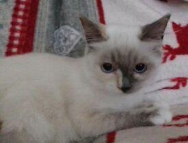 Beautiful Ragdoll Kittens... Ready Now!!!
