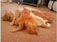 Ginger fluffy Persian kitten - last one!