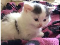 Adorable Kittens ONLY 1 LEFT!!