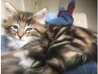 Pedigree Norwegian Forest Kitten for sale