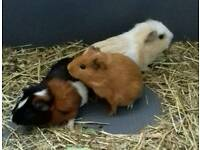 Female Guinea Pigs & Cage