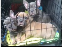 French bulldog puppies, Frenchie puppies, KC registered
