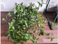 Two Varieties In One Pot Wandering Jew Trailing House Plant Tradescantia Fluminensis