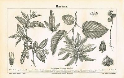 Botanische Tafel HORNBAUM 1889 Original-Holzstich